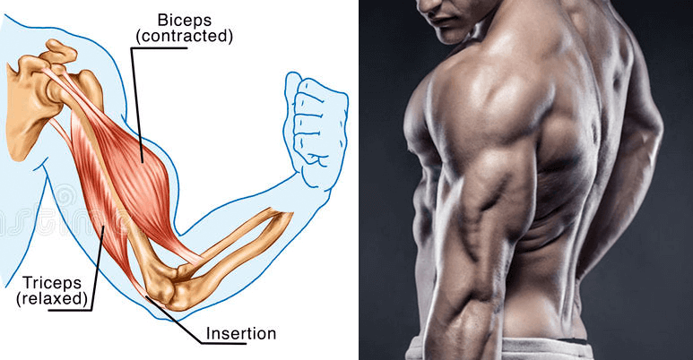 train biceps triceps on the same day