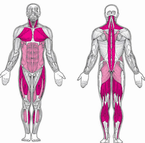 Postural Muscles are one of the muscle groups Worked by The Military Press
