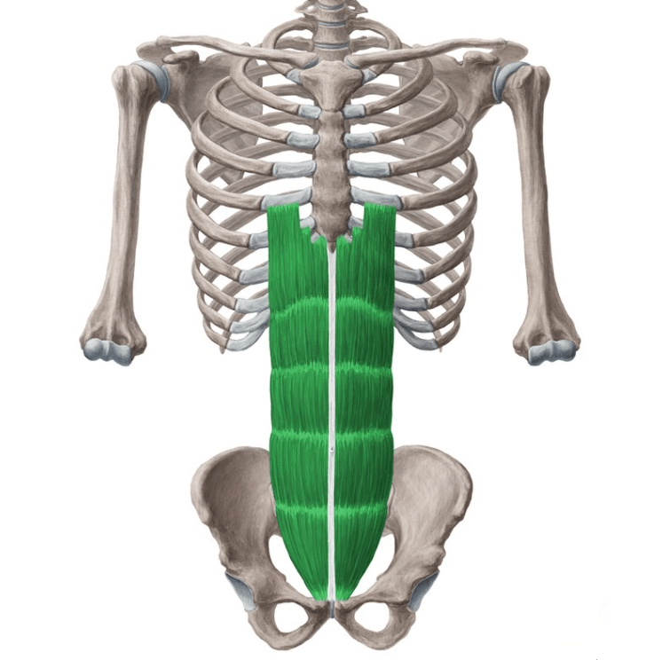 The Rectus Abdominis are one of the Muscle Groups Worked During the Double Crunch