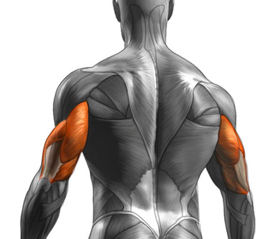 Triceps are one of the muscle groups Worked by The Military Press
