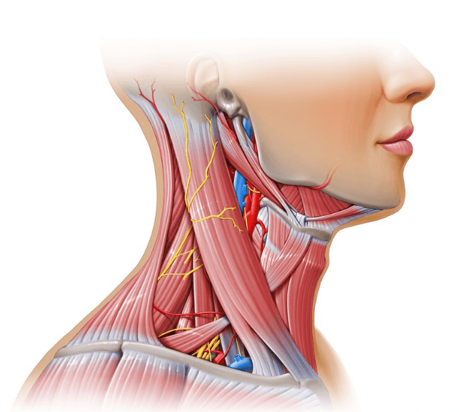 Neck muscles are among the most worked with superwoman exercise